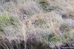 No hiding from me.! (nondesigner59) Tags: shortearedowl asioflammeus longgrass wildlife hiding nature copyrightmmee eos7dmkii nondesigner nd59