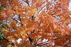 Peak (Jetcraftsofa) Tags: olympustrip35 zuiko4028 kodak ultramax400 35mm compactcamera pointandshootcamera autumn fallcolor peakcolor decay zenith nadir lifecycle rebirth death brilliance tree sunlight