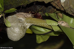 41857 Four-lined Tree frog (Polypedates leucomystax, IUCN=Least Concern), with a foam nest and egg predation by a solitary ant, above a small pool, Perak, Malaysia. (K Fletcher & D Baylis) Tags: animal wildlife fauna amphibian reproduction foamnest bubblenest frog treefrog rhacophoridae fourlinedtreefrog commontreefrog whitelippedtreefrog polypedatesleucomystax leastconcern predation predator ant formicidae perak malaysia asia february2019
