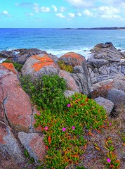 Pigface with a a view II (elphweb) Tags: hdr highdynamicrange nsw australia coast coastal pigface flowers succulent flower rock rocks rocky rockformation seaside water ocean waves