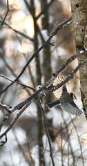 Sinitiainen (TheSaOk) Tags: painting sinitiainen bird lintu maalaus wings siivet dawn winter snow luontokuva yleluonto birdlife birds birdlover still