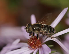 HFDF (12/7/18) (cotinis) Tags: insect diptera hoverfly syrphidae eristalinae eristalisdimidiata northcarolina piedmont fridayflyday canonef100mmf28macrousm