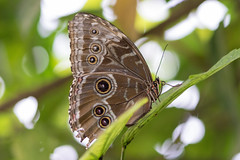 Blue Morpho Butterfly (Pabs777) Tags: nikond7200 nikon d7200 nikonafs105mmmicrovrlens butterfly animal insect nature wildlife uk 2017 animalplanet