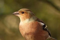 Chaffinch (hedgehoggarden1) Tags: chaffinch birds wildlife nature creature animal sonycybershot norfolk eastanglia uk sony bird rspb