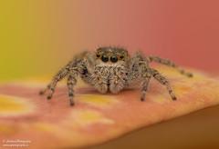 Bronze Jumping Spider (Salticidae Eris militaris) (salmoteb@rogers.com) Tags: spider outdoor animal nature wildlife wild macro closeup 105mm nikon d850 ontario canada raynox 250 leaf color