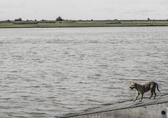 ...A la espera... (V Maximiliano R) Tags: perro dog esperando dueño amigo compañero el mejor rio salado lavalle generallavalle general puerto desembarque pesca