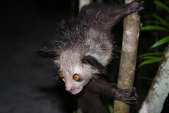 Aye-aye Portrait (Susan Roehl) Tags: •madagascar2017 islandofmadagascar offtheeastcoastofafrica palmariumreserve ayeaye nocturnallemur daubentoniamadagascariensis wildanimal mammal omnivore strepsirrhineprimate genusdaubentonia familydaubentoniidae rodentliketeeth specialthinmiddlefinger largestnocturnalprimate fillsnicheofawoodpecker percussiveforaging consideredevilfolkbelief iucnendangered basedonsuperstition arboreal solitary sphericalnests sueroehl photographictours naturalexposures panasonic lumixdmcgh4 35x100mmlens handheld photographedatnight highlycropped wood forest tree ngc