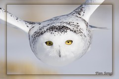 Snowy closeup (fsong) Tags: snowy owl closeup