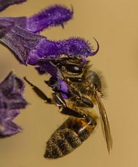 Bee on Salvia (m&em2009) Tags: bee salvia flower insect purple macro close up 60mm nikon fantasticnature