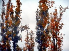 Poplars (EmperorNorton47) Tags: foothillranch california photo digital autumn fall poplars trees autumncolors fallcolors