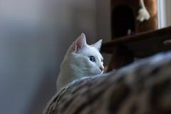 The cats meow. (caitlynbenoit) Tags: pancake 40mm 40 cc newby newly canon portrait pet cat