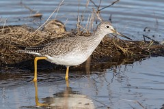 Greater yellowlegs (Tringa melanoleuca) (Tony Varela Photography) Tags: greateryellowlegs tringamelanoleuca shorebird canon photographertonyvarela