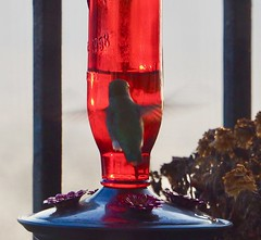 Glad the Feeder was Freshly Filled ... (Irene, W. Van. BC) Tags: gladthefeederwasfreshlyfilled hummingbird hummingbirds allhummingbirds birds birdsofafeather birdwatch birdsofbc bcbirds pacificcoastbirds smallbirds smallanimals animalsbirds annashummingbird rufoushummingbird feedingtime feed balcony outdoors outdoorscenes balconyrailing 1001nights 1001nightsmagiccity 1001nightsmagicpeacock wings flappingwings