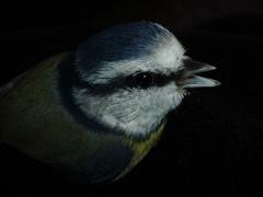 Dizzy Blue Tit..x (Lisa@Lethen) Tags: blue tit window bump macro feather nature wildlife hand holding beak panting dizzy