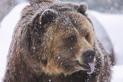 Grizzly (Cruzin Canines Photography) Tags: grizzly grizzlybear animal animals canon canoneos5ds canon5ds 5ds eos5ds tamron tamronsp150600mmf563divcusd bear outdoors outside nature naturallight cheyennemountainzoo zoo wildlife wild wildanimal wildanimals colorado coloradosprings winter snow