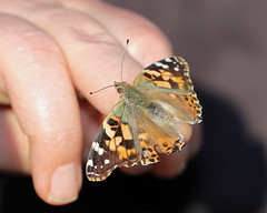 Painted Lady On Board! (RiverCrouchWalker) Tags: paintedlady vanessacardui butterfly paintedladyonboard rhs rhshydehall rettendon essex november 2018 insect invertebrate autumn hand fingers