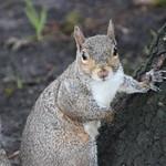 Eastern Grey Squirrels at Portland State University, Portland, Oregon - Friday November 2th, 2018 thumbnail