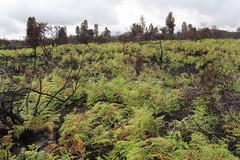 Pteridium aquilinum regeneration after the Mauna Loa Strip Road fire (J. B. Friday) Tags: hawaiivolcanoesnationalpark maunaloa wildfire pteridium pteridiumaquilinum dodonaea dodonaeaviscosa