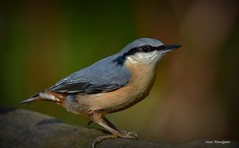 Nuthatch - Stockgrove - Bedfordshire (Alan Woodgate) Tags: nuthatch wild bird
