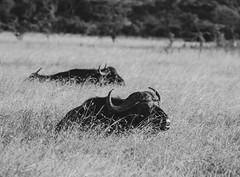 African Buffalo in the Tall Grass (sharon.verkuilen) Tags: africa kenya laikipia lewaconservancy buffalo blackwhite safari sonya7rii