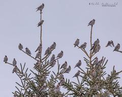Bohemian Waxwing Flock (Bill McDonald 2016) Tags: waxwings bohemian flock birds ontario december 2018 luthermarsh fall autumn tree spruce foraging billmcdonald wwwtekfxca nature wildlife photography