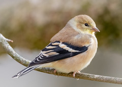 Winter Plumage (tresed47) Tags: 2018 201811nov 20181112homebirds birds canon7dmkii chestercounty content fall finch folder goldfinch november pennsylvania peterscamera petersphotos places season takenby us
