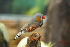 Zebra finch (Jurek.P) Tags: birds bird ptaki ptak zeberkatimorska zebrafinch closeup jurekp sonya77