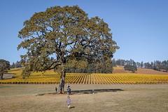 Stoller Vineyard in the Fall (Clayton Ravsten) Tags: stoller vineyard tree foveon sigma sdquattro 30mm fall childrenplaying