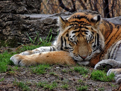 Sleeping Tiger (George Neat) Tags: animals allegheny county pittsburgh zoo ppg aquarium tiger cat georgeneat pa pennsylvania patriotportraits neatroadtrips
