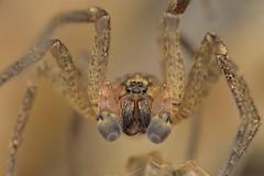 Zoropsis spinimana, mâle (Mérilheu) (G. Pottier) Tags: zoropsisspinimana zoropsis zoropsidae araneomorphae araneae araignée maison araignéesdesmaisons zoropseàpattesépineuses zoropse afsvrmicronikkor105mmf28gifed arachnide groupeoculaire yeux œil chélicères bulbescopulatoires pédipalpe spider spinne araña d850 macrophotographie macroextrême macro bigorre mérilheu hautespyrénées