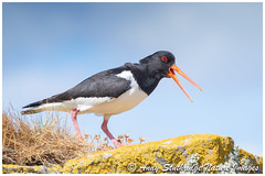 Oystercatcher Calling (www.andystuthridgenatureimages.co.uk) Tags: bird wader oystercatcher calling rocks coast sea shore lichen scotland dumfriesgalloway bay rocky beach water coastal seabird
