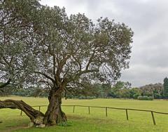 The Venerable Olive Tree. (Eadbhaird) Tags: croatia istria brijuni olivetree brijuniislandsnationalpark nacionalniparkbrijuni velibrijun fazana marina boat sea hrv