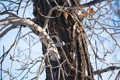 Black-capped Chickadee (dan.clayton) Tags: inglewoodbirdsanctuary baldeagle canadagoose canada calgary bowriver