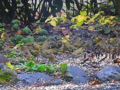 Grünfinken beim Frühstück (Sophia-Fatima) Tags: mygarden meingarten naturgarten gardening grünfinken greenfinch