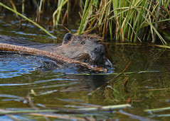 Busy as  a beaver... #15 (Guy Lichter Photography - 4.2M views Thank you) Tags: beaver canon 5d3 canada manitoba rmnp wildlife animals rodent rodents