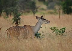 Kudu - female (anacm.silva) Tags: kudu mammal mamífero wild wildlife nature natureza naturaleza africa southafrica áfrica áfricadosul krugernationalpark knp kruger