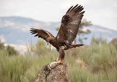 Golden Eagle (Chas Moonie-Wild Photography) Tags: golden eagle raptor aquila chrysaetos prey bird