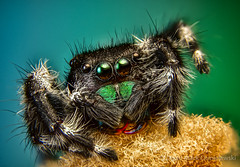 2019-02-01 13-53-13 (C)-2-Edit (Dave Chmielewski) Tags: 4xmicroscopelens jumpingspider bellows