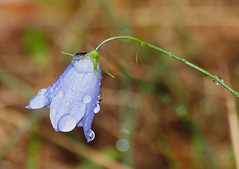 2018_09_0692 (petermit2) Tags: harebell campanularotundifolia campanula campanulaceae bellflower sherwoodforest sherwood clumber clumberpark nottinghamshire nationaltrust nt