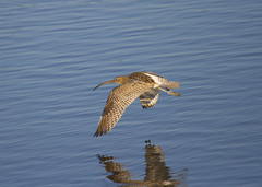Curlew (wayne.withers1970) Tags: small pretty bird wings fly flight flying color colorful nature natural colour colourful wild wildlife wales autumn flickr dof country countryside outside outdoors alive fauna swimming canon sigma light black white blue brown river sea coast feathers water wader waterfowl fine dark animal reflection ripples curlew kidwelly