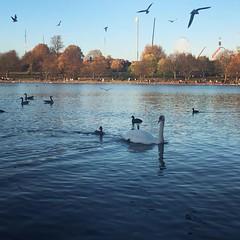 Hyde Park (basiamarcisz) Tags: wodneptaki waterbirds swan łabędź jezioro londyn london hydepark