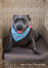 Storm (Anna Calvert Photography) Tags: storm canine dogs landscape outdoors puppies scenery staffie staffiex bluestaffie