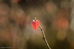 Autumn Love (Baljinder.Gill) Tags: autumn autumncolours autumnleaves leaves leaf bokeh bokehphotography nikon nature naturephotography heart loveheart season