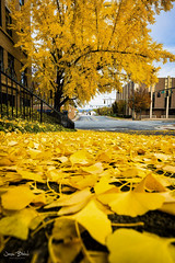 Ginkgo Trees 1 (Jason Blalock) Tags: rome romega ga georgia georgiasrome fall fallcolor autumn autumncolor ginkgo ginkgotree downtownrome exploregeorgia explorenorthgeorgia wandernorthgeorgia yellow leaf leaves