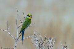 Swallow-tailed Bee-eater (leendert3) Tags: leonmolenaar southafrica kgalagaditransfrontierpark wildlife nature birds swallowtailedbeeeater naturethroughthelens coth5 ngc npc