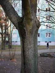 Der Baum. / 10.12.2018 (ben.kaden) Tags: berlin weisensee piesporterstrase streetphotography baum stadtnatur plattenbau 2018 10122018 architekturderddr