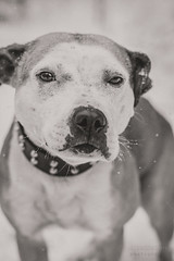 2018-12-11 (annamarias.) Tags: apbt americanpitbullterrier pitbull staffordshire snow winter cold fun dog animal pet mammal