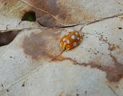 Halyzia sedecimguttata (rockwolf) Tags: halyziasedecimguttata beetle orangeladybird ladybird coccinellidae coccinelleorange coccinelle insect coleoptera shawburyheath shropshire rockwolf