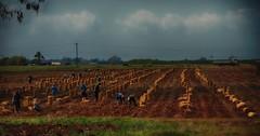 Potato harvest (ramerk_de) Tags: cuba potatoharvesting hdr farming farmer field