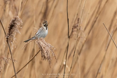 Common Reed Bunting - Bruant des roseaux 🐤🔭 (Waitandshoot - Alexandre & Chloé Bès) Tags: buse aigle buzzard bird variable canon hunt exterieur parc nature forest fishing outdoor oiseau animal extérieur blue tit flight winter snow oiseaux wind sky white profondeur de champ red rouge european robin gorge chanteur common chaffinch great duck bearded reedling panure moustaches bruant reed bunting eurasian bittern kingfisher